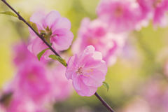 Beautiful blooming spring branch with tender pink flowers Stock Photo