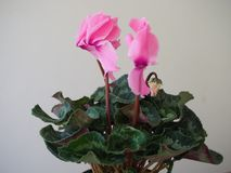 Beautiful blooming spring flower - pink Terry cyclamen stock image