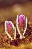 Beautiful blooming spring flowers. Natural colored blurred background. (Pasque Flowers - Pulsatilla grandis). Stock Photography