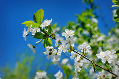 Beautiful blooming spring garden on a background of blue sky Royalty Free Stock Photos