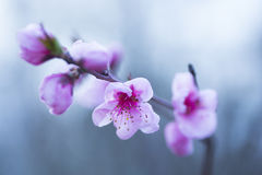 Beautiful blooming spring peach branch Stock Images