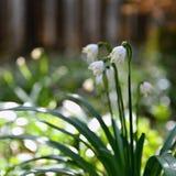 Beautiful blooming spring snowflakes flowers. (leucojum vernum carpaticum) Stock Photography
