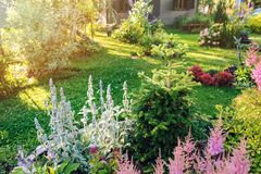 Beautiful blooming summer garden in english cottage style. Flower bed with astilbe, stachys, abies koreana. And other perennials royalty free stock photo