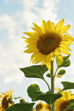 Beautiful blooming sunflower Royalty Free Stock Photo
