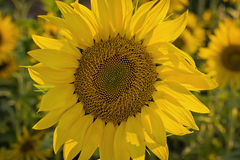 Beautiful blooming sunflower Stock Image