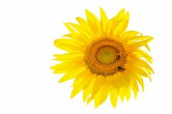 Beautiful blooming sunflower which sits two bees on a white back. Ground, isolated sunflower royalty free stock photo