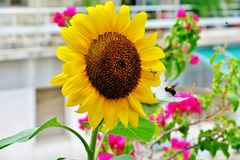 Beautiful blooming sunflower yellow-bright color with a flying bumblebee near it stock photos