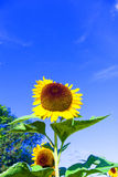 Beautiful blooming sunflowers on the meadow Stock Photography