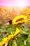 Beautiful blooming sunflowers in the morning field Royalty Free Stock Photos