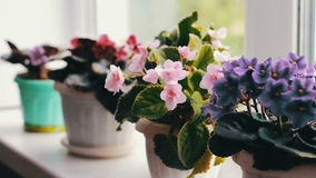 Beautiful, blooming, tender violet, red, pink violets bloom in pot on the windowsill stock footage