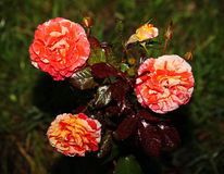 Beautiful blooming three Bud. Blooming yellow red dressing garden green tea rose. Stock Photography