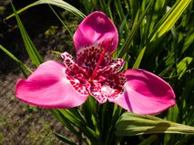 Tigridia pavonia flower Royalty Free Stock Photos