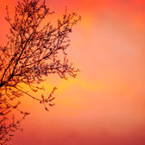 Blooming tree on sunset background Stock Photography