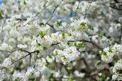 Beautiful blooming tree Royalty Free Stock Image