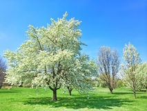 Beautiful blooming tree in spring garden Stock Photos