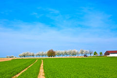 Beautiful blooming trees in alley with field Royalty Free Stock Photo