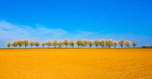 Beautiful blooming trees in alley with field Royalty Free Stock Images
