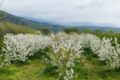 Beautiful blooming trees in countryside Royalty Free Stock Photos