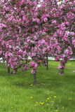 Beautiful blooming trees in spring. Royalty Free Stock Photo