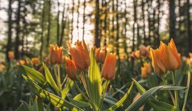 Beautiful blooming tulips in a field royalty free stock photography