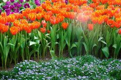 The beautiful blooming tulips in garden.tulips flower close up under natural lighting outdoor stock photo