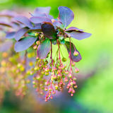 Beautiful blooming twig of european barberry ( ottawensis Superb Royalty Free Stock Images