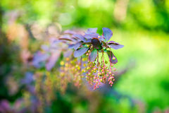 Beautiful blooming twig of european barberry ( ottawensis Superb Stock Images