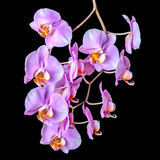 Beautiful blooming twig of purple orchid phalaenopsis is isolate Royalty Free Stock Photo