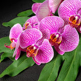 Beautiful blooming twig of stripped violet orchid, phalaenopsis Royalty Free Stock Image