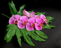 Beautiful blooming twig of stripped violet orchid, phalaenopsis Royalty Free Stock Photos