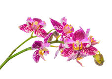 beautiful blooming unusual purple orchid, phalaenopsis is isolated on white background royalty free stock photos
