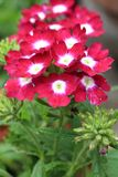 Beautiful blooming verbena Stock Photography