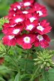 Beautiful blooming verbena Stock Photography