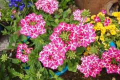 Beautiful blooming verbena Stock Photo