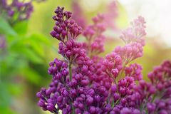 Lilac. Beautiful blooming violet lilac with blurred sunny background Royalty Free Stock Image