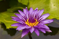 Beautiful blooming violet water lily Stock Photo