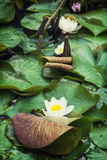 Beautiful blooming water lilies in the garden Stock Photos