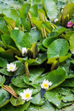 Beautiful blooming water lilies Stock Image