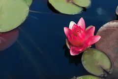 Beautiful blooming waterlily and leaves Royalty Free Stock Photos