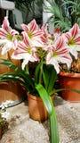 Beautiful blooming white Amaryllis  flowers Royalty Free Stock Image