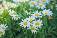 Beautiful blooming white daisy in garden Royalty Free Stock Images