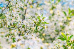 Blooming white flowers  branch of apple tree Royalty Free Stock Photos