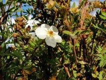 Beautiful blooming white flowers. Beautiful Fresh Jasmine Stock Images