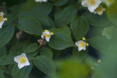 Beautiful blooming white flowers close up Royalty Free Stock Photography