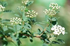 Beautiful blooming white flowers of spirea. White flowers of the bride. Background. Beautiful blooming white flowers of spirea. White springtime flowers of the Royalty Free Stock Photos