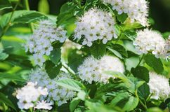 Beautiful blooming white flowers of spirea. White springtime flowers royalty free stock image