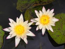 Beautiful blooming white Lotus Royalty Free Stock Image