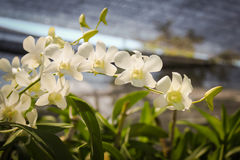 Beautiful blooming white orchid. Stock Photography