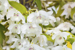 Beautiful blooming white orchid flowers in hothouse Royalty Free Stock Photos