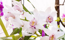 Beautiful blooming white orchid flowers in hothouse Stock Image